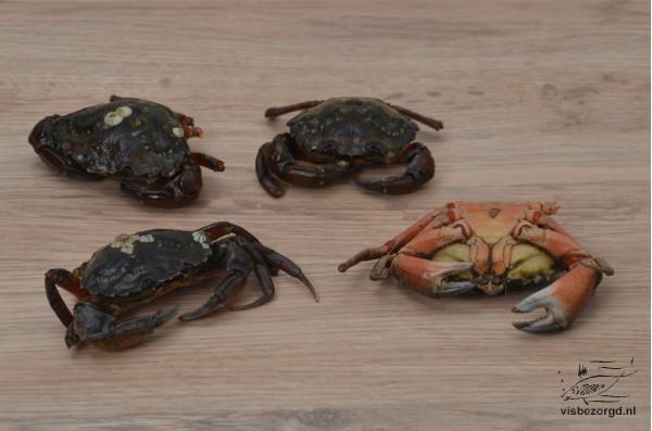 Crab Noordzee scharen
